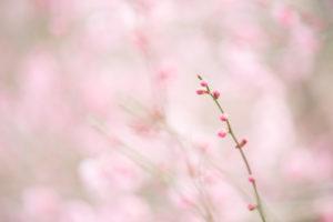 ピンクの梅のつぼみ