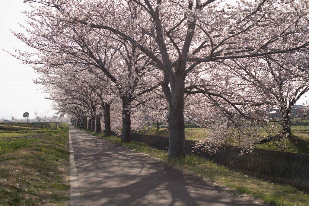 曇川の桜2