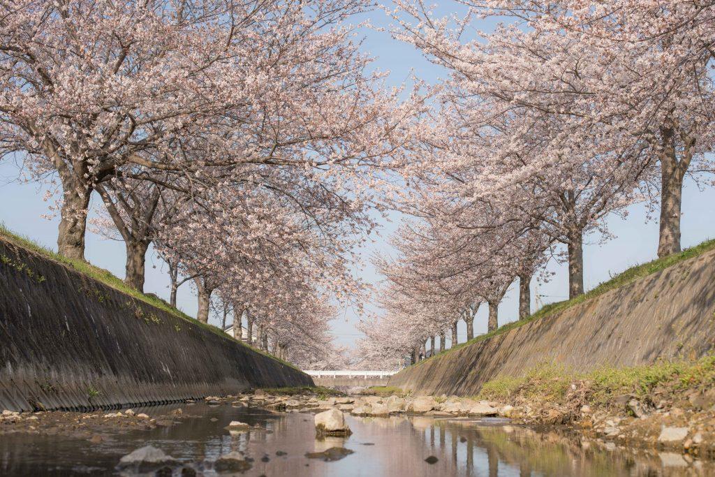 曇川の桜3