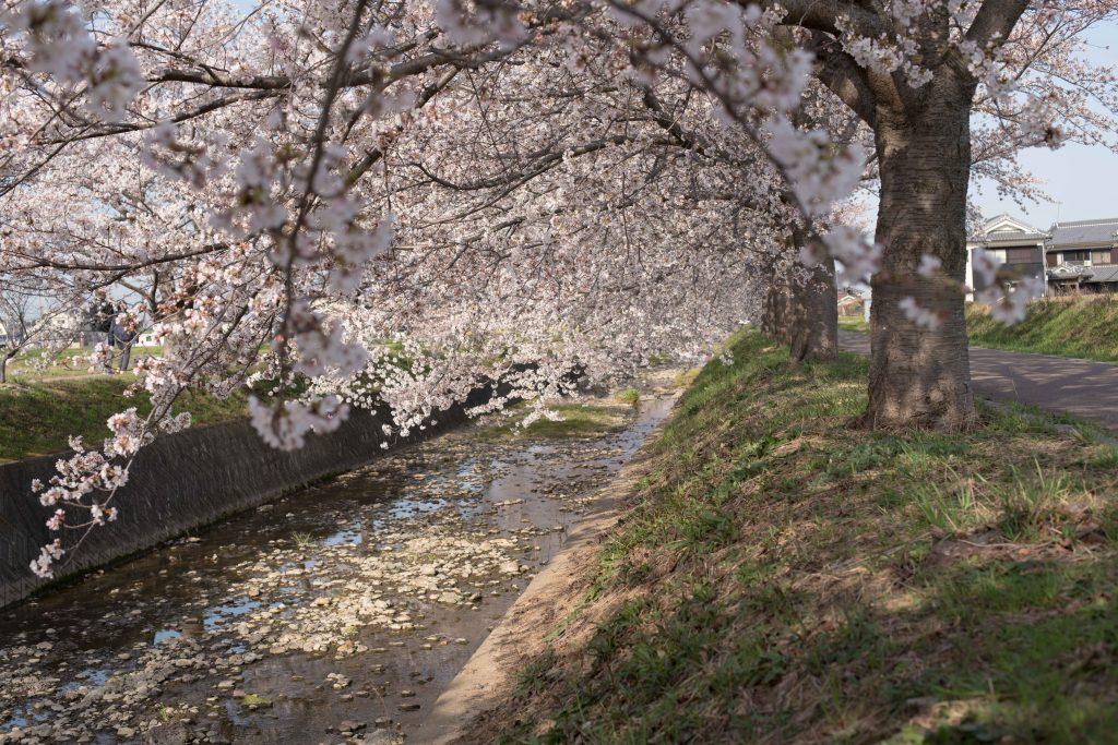 曇川の桜4