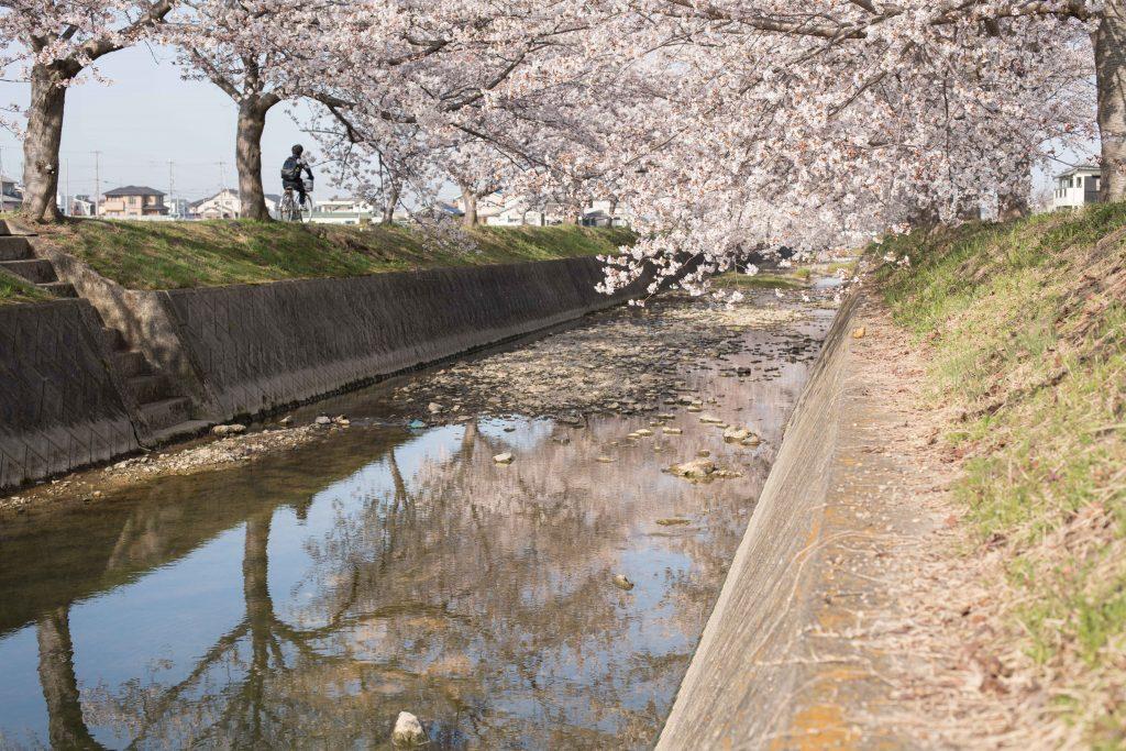 曇川の桜5