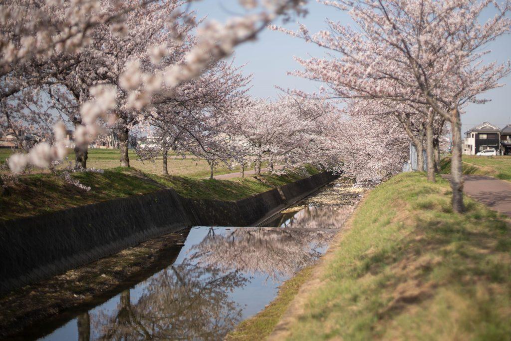 曇川の桜6