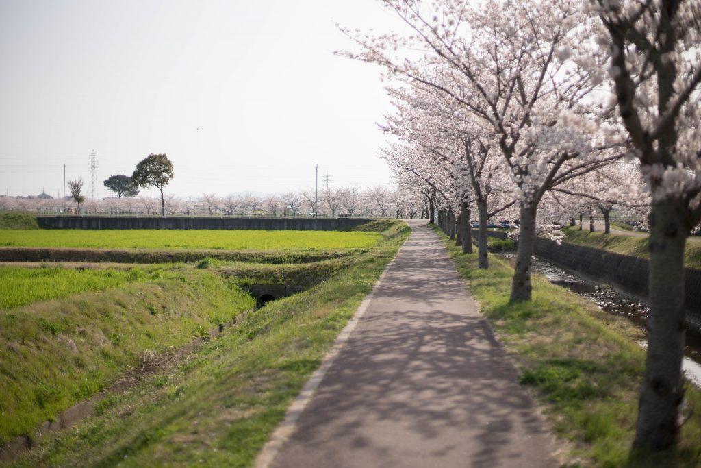 曇川の桜7
