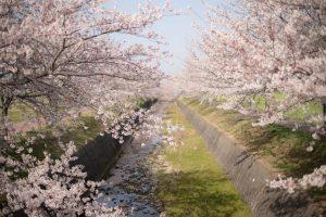曇川の桜8