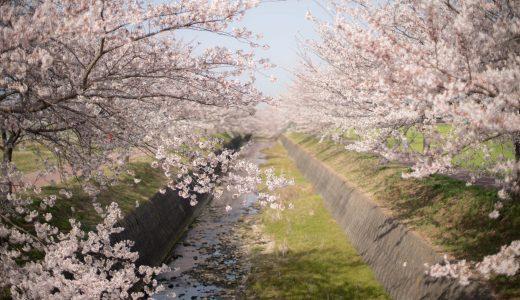 【桜2018】兵庫県の穴場スポット「曇川土手」に行ってきた【加古郡稲美町】