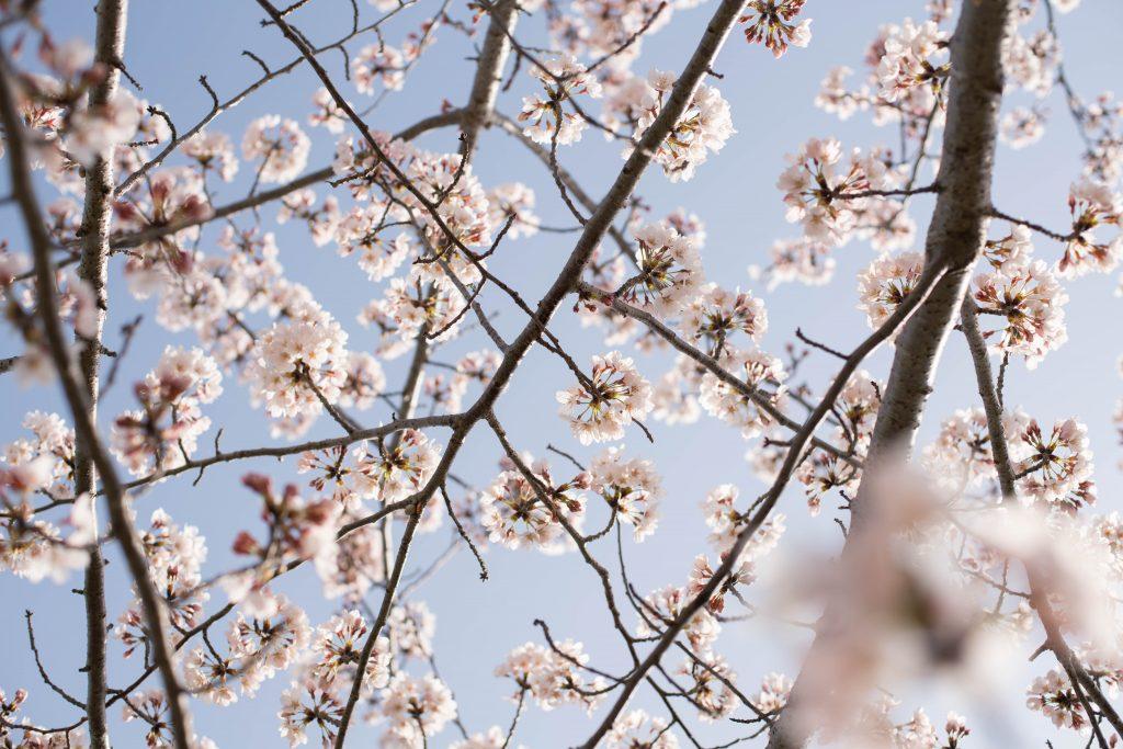 曇川の桜9