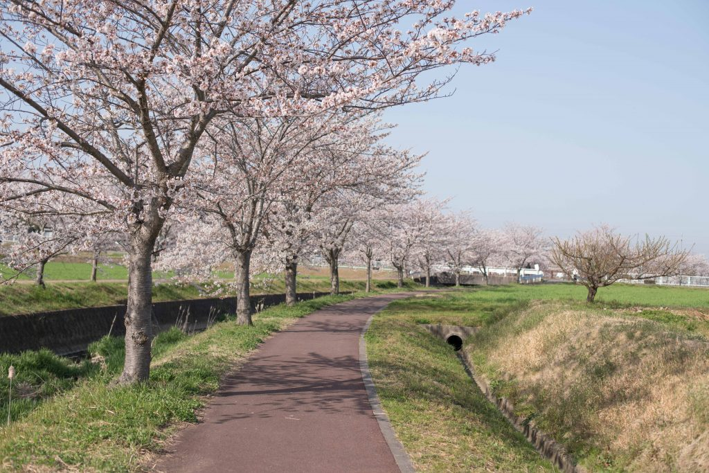 曇川の桜10