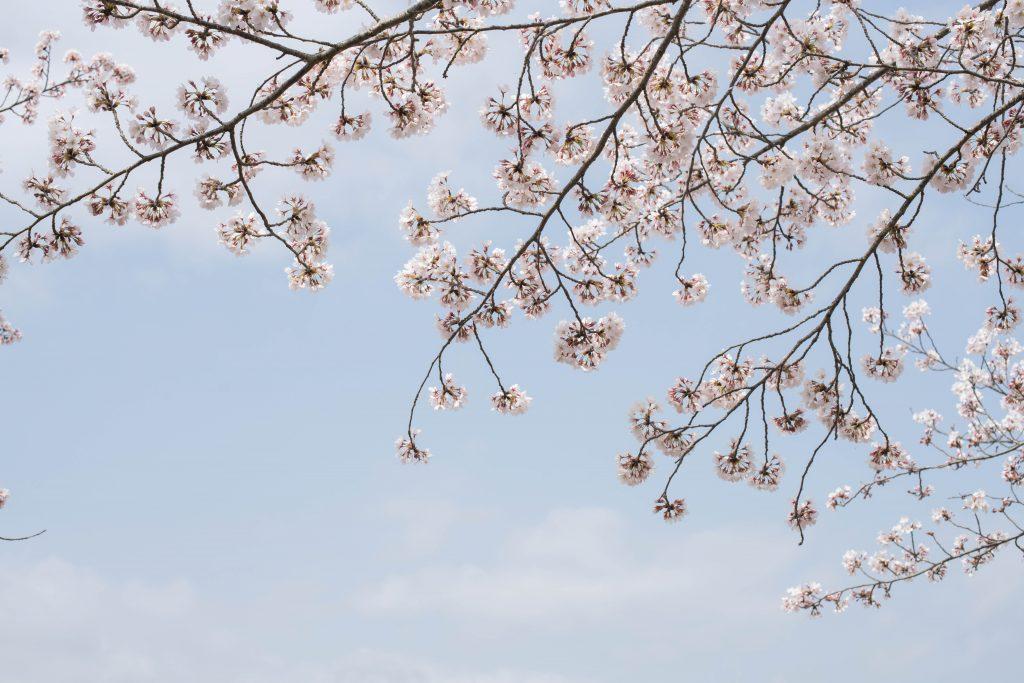 小野桜づつみ回廊2