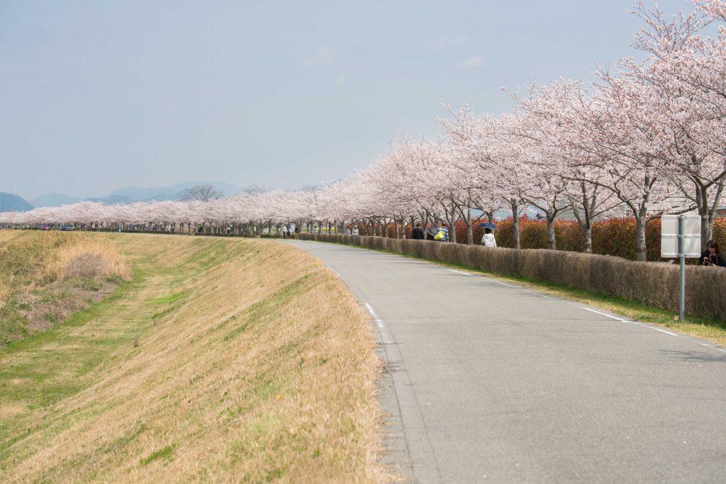 小野桜づつみ回廊12