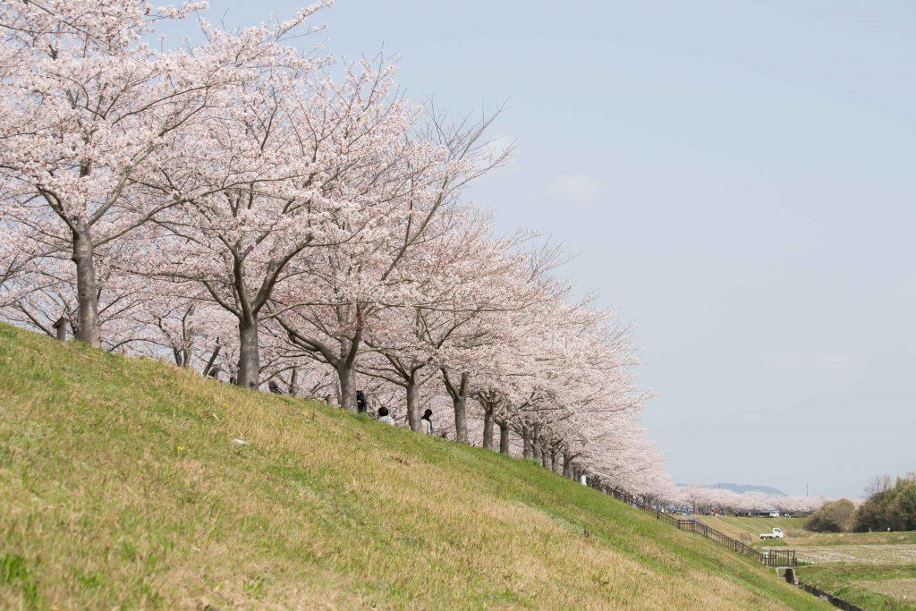 小野桜づつみ回廊4