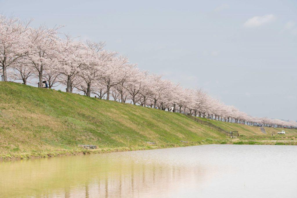 小野桜づつみ回廊5