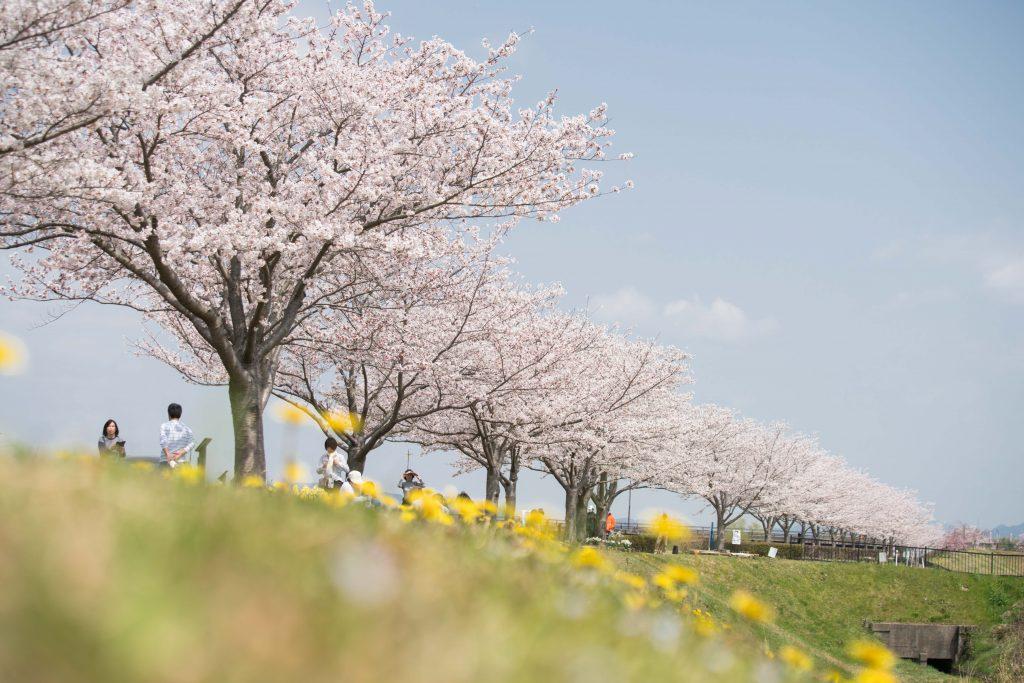 小野桜づつみ回廊6