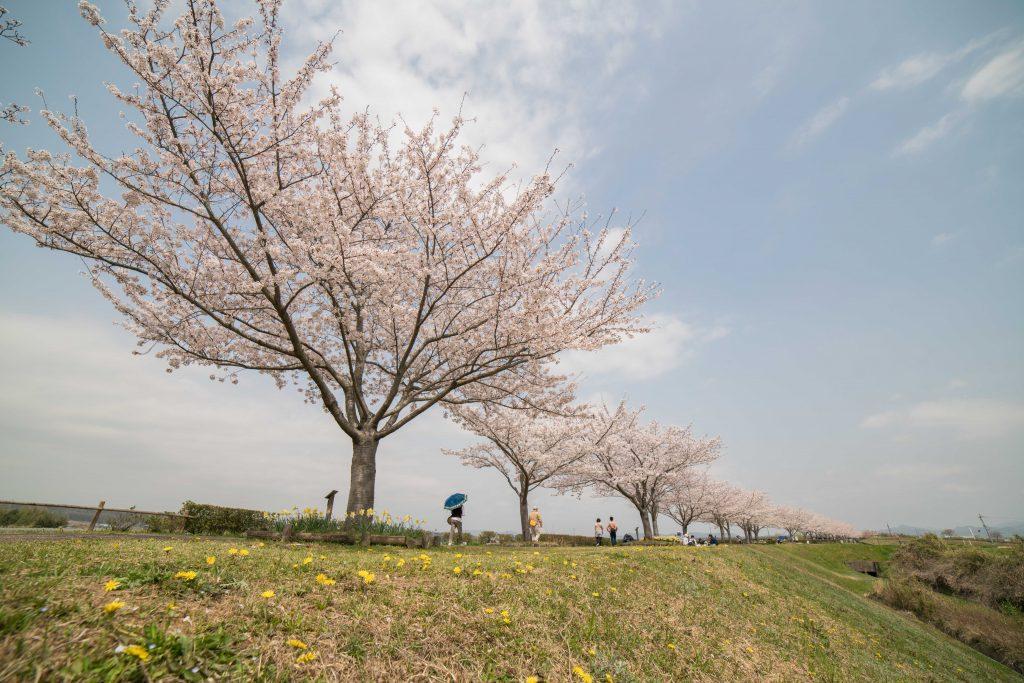 小野桜づつみ回廊7