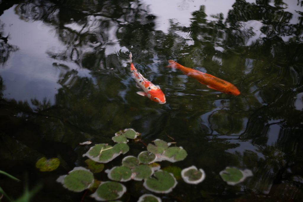 相楽園の鯉
