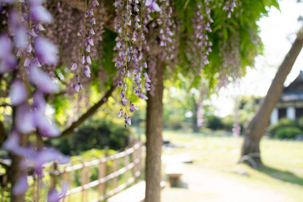 福山城の藤棚