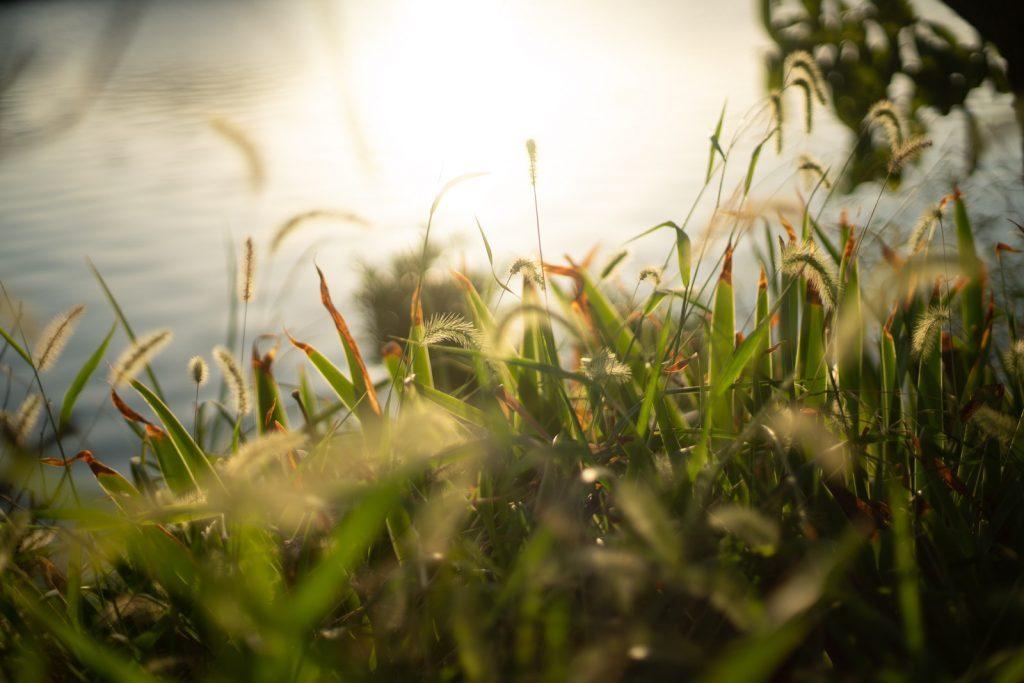 夕日に輝く草