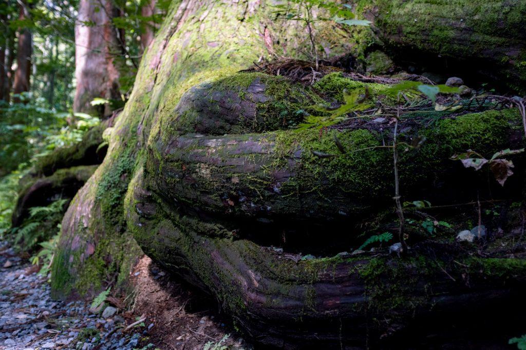 杉の木のねっこ