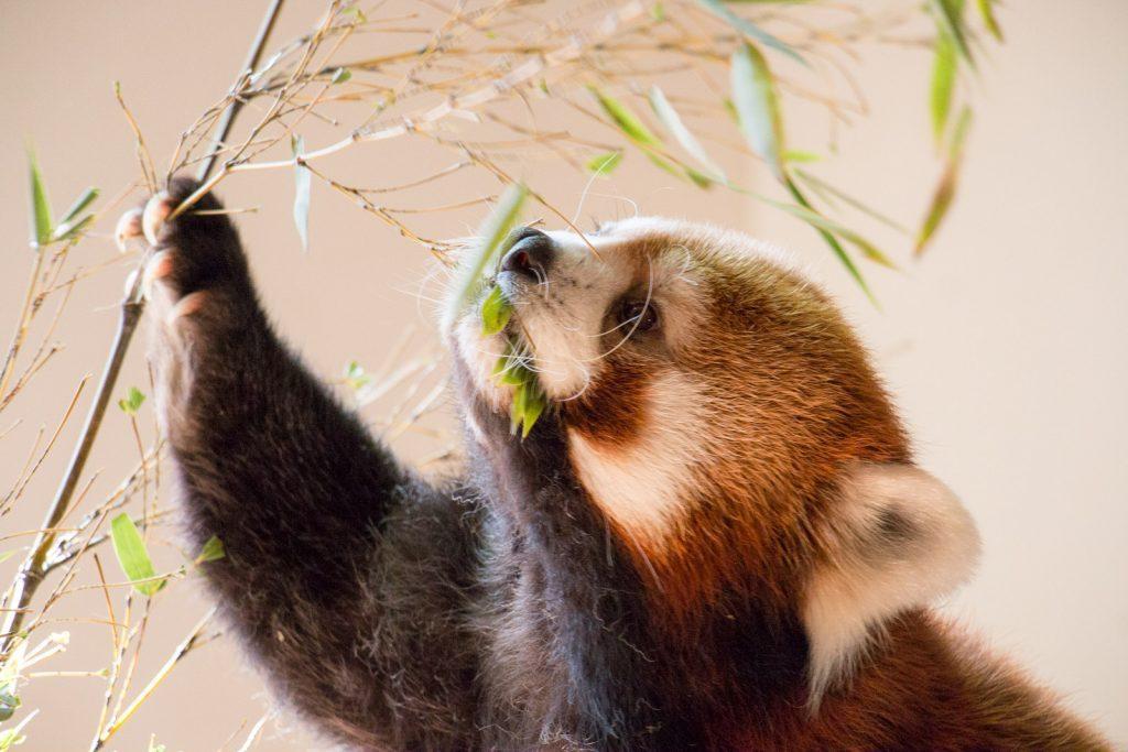 レッサーパンダの食事