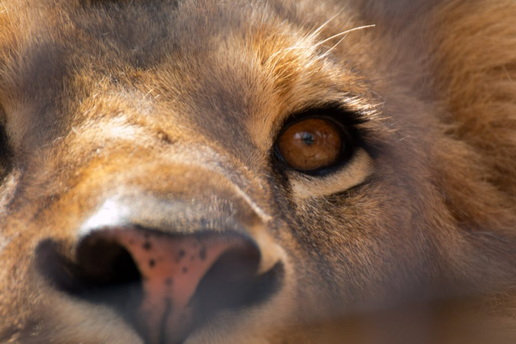 ライオンの目