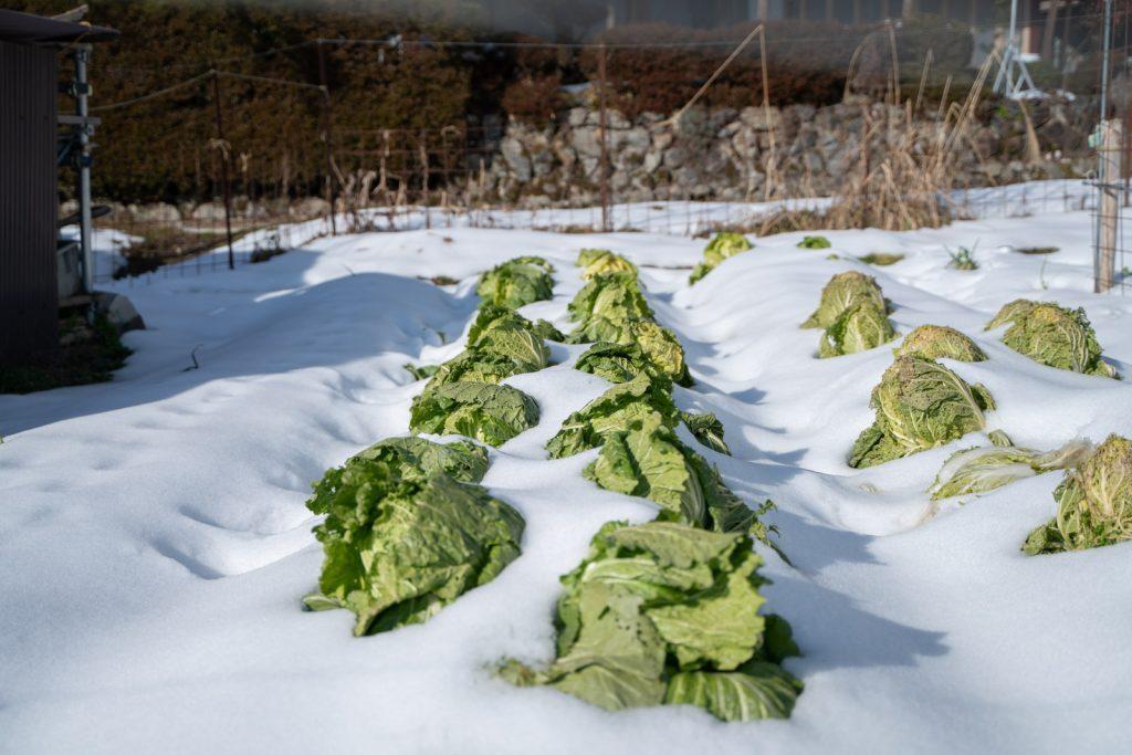 雪に埋められたキャベツ