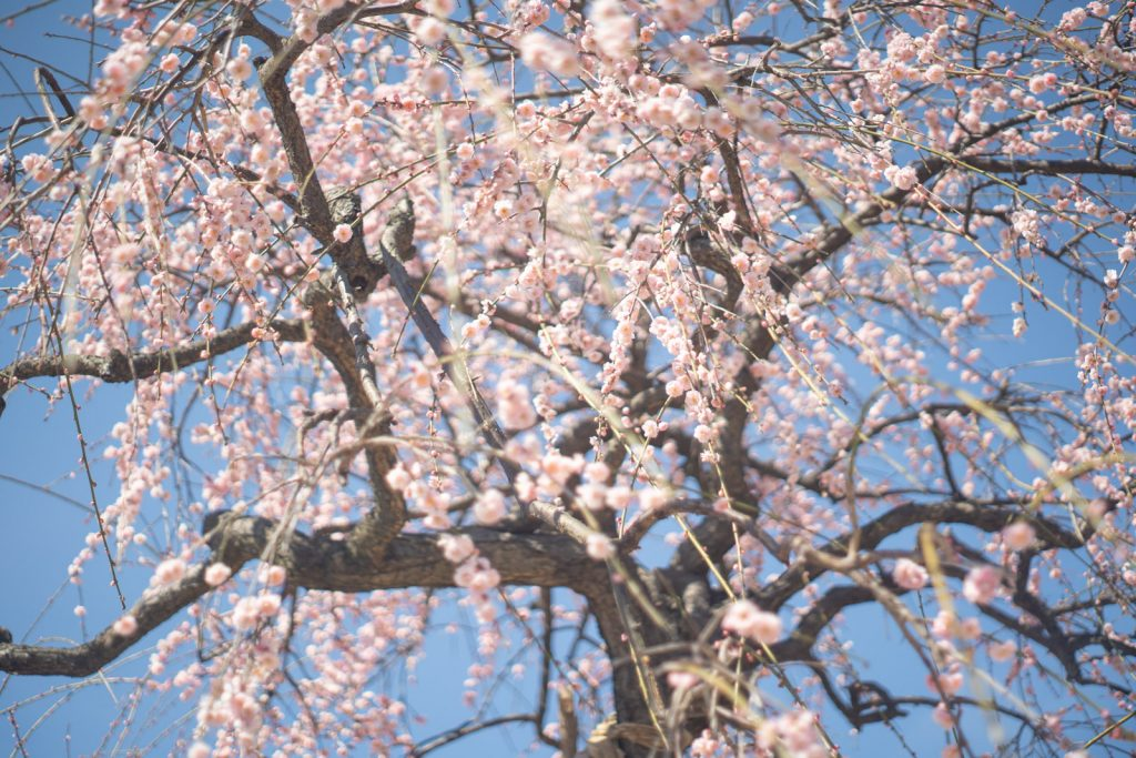 Super Takumar 55mm F1.8 作例