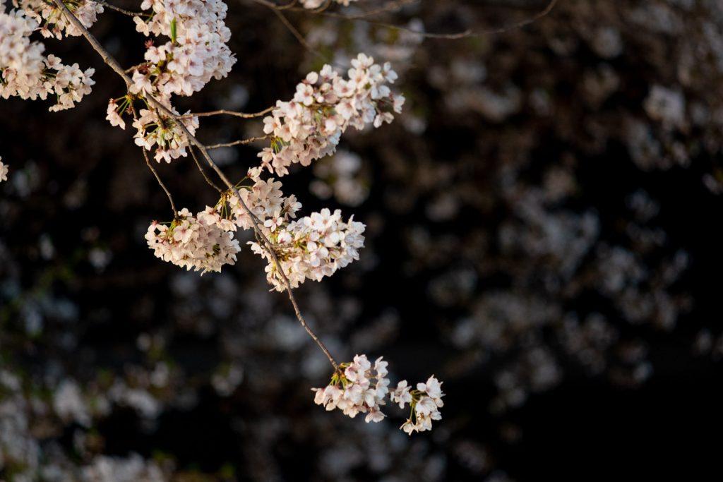 浅草寺の夜桜