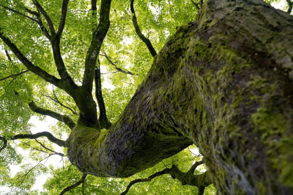 建仁寺の木